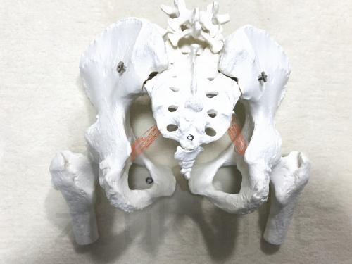 仙棘靱帯の位置(後ろ側)