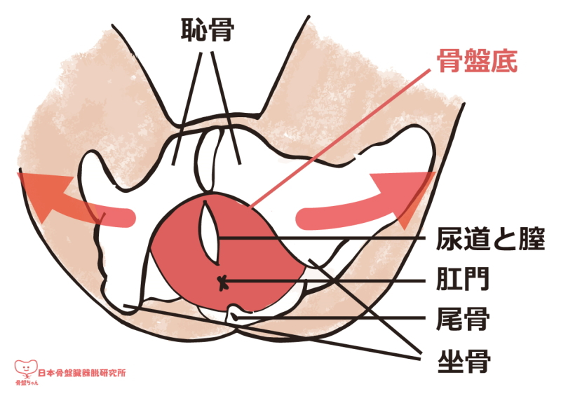 骨盤底筋の衰えイラスト